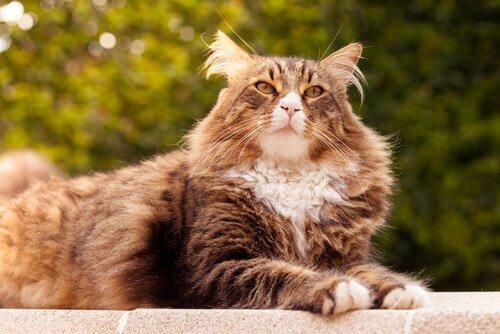 En Büyük 5 Kedi Cinsi