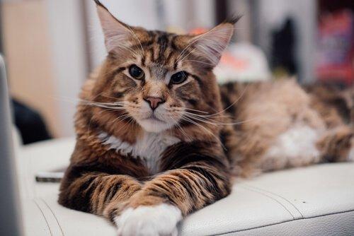 Maine Coon Kedisi: Özellikleri ve Bakımı