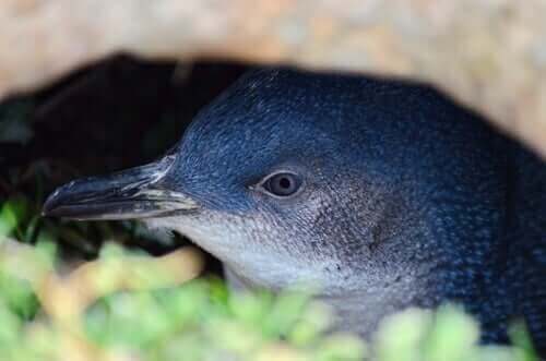 mavi penguen yakın