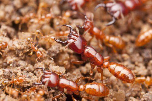 Dünyadaki En Ölümcül Böcekler