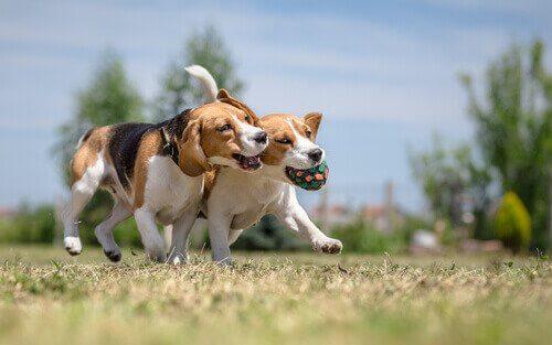 birlikte oynayan köpekler