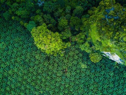 Afrika için Büyük Bir Tehdit: Palmiye Yağı