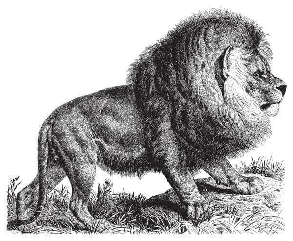 nesli tükenmiş aslan