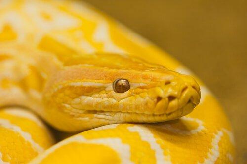 sarı renkli yılan