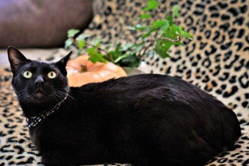 siyah japon kısakuyruk