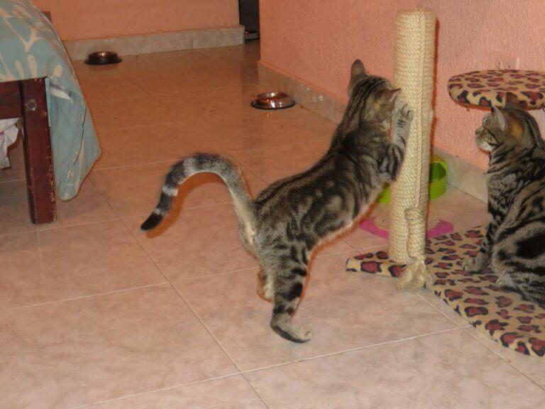 sokoke yavru kedi