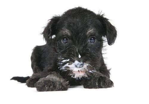 süt içen köpek