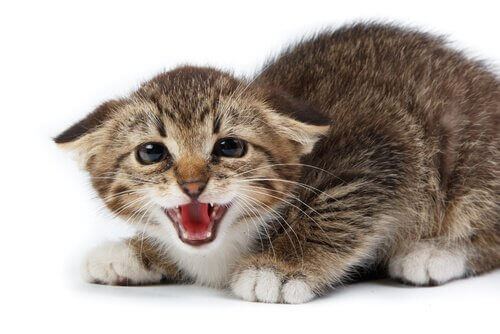 tıslayan kedi