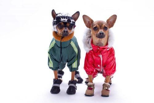 kıyafet giymiş iki tatlı köpek