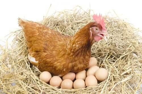 tavuk ve yumurtaları