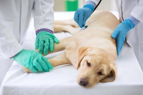 tedavi gören köpek