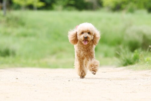 topallayan toy poodle