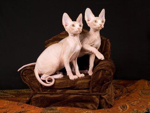 koltukta duran tüysüz kediler
