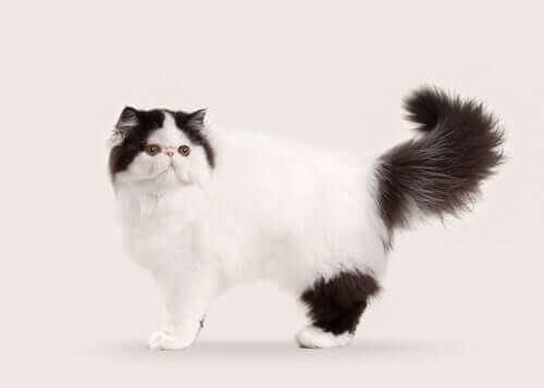 Yarı Uzun ve Uzun Tüylü Kedi Türleri