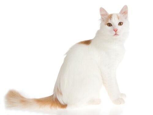 türk van kedisi