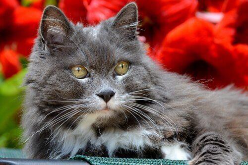 yaşlı gri kedi