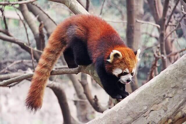 ağaca tırmanan kızıl panda