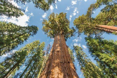 sekoya ağaçları
