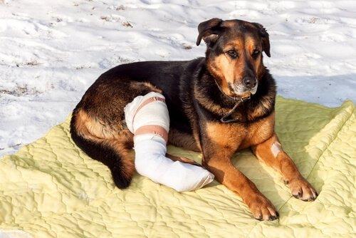 bacağı sargılı köpek