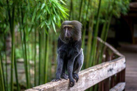 baykuş yüzlü maymun