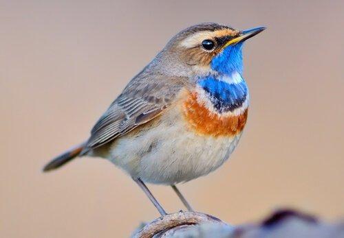 Mavi boyunlu bülbül: Bu harika kuş hakkında her şey