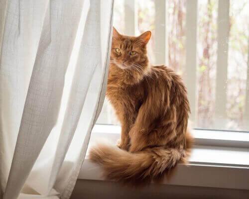 cam önünde oturan somali kedisi