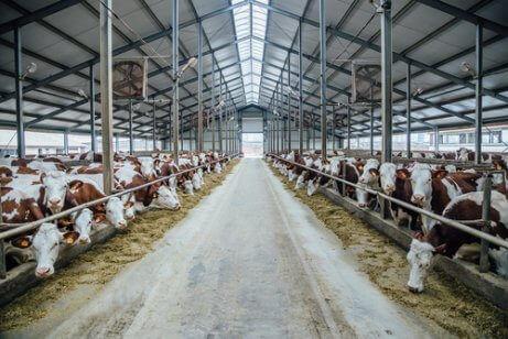 hangarda yan yana inekler