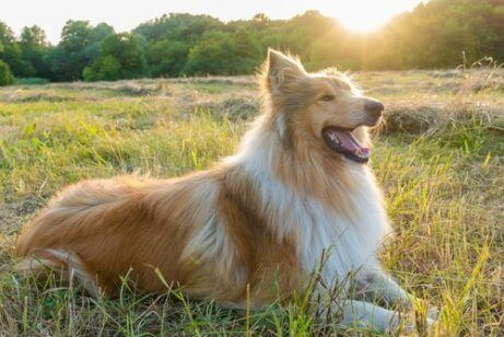 sakin köpek ırkı collie