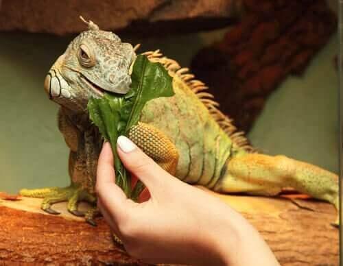 iguana beslemek