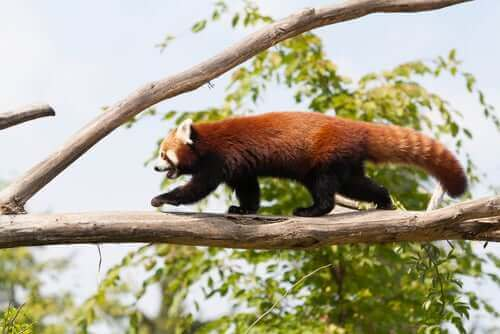 dalda yürüyen kızıl panda