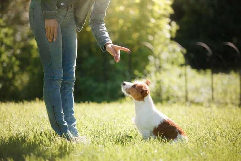 eğitim alan jack russell terrier