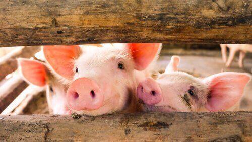 tatlı domuzlar