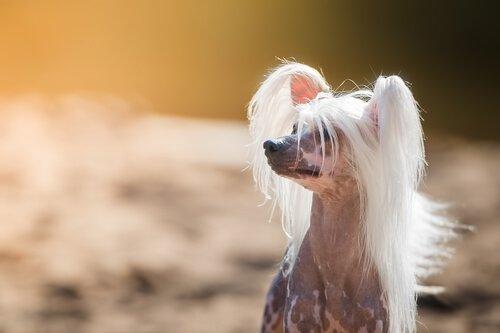En Garip Köpek Irkları ile Tanışın