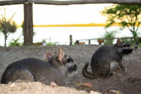 Viscacha kemirgeni