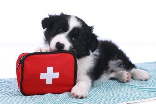 En Yaygın Evcil Hayvan Kazaları