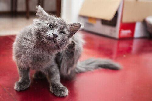 parazitlenmiş kedi