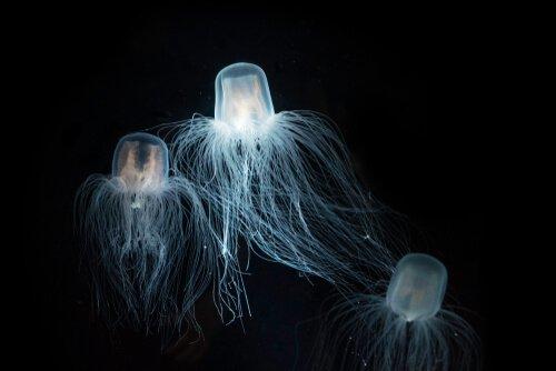 Kutu Denizanası: Karakteristik Özellikleri