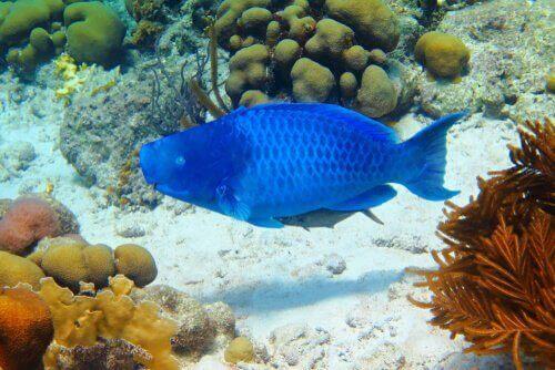 Mavi Papağan Balığı Hakkında Bilgiler