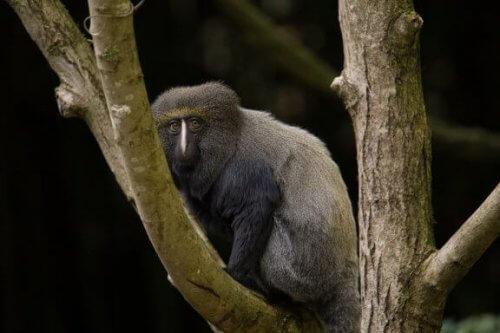 Baykuş Yüzlü Maymun: Özellikleri