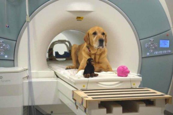beyin testine giren köpek