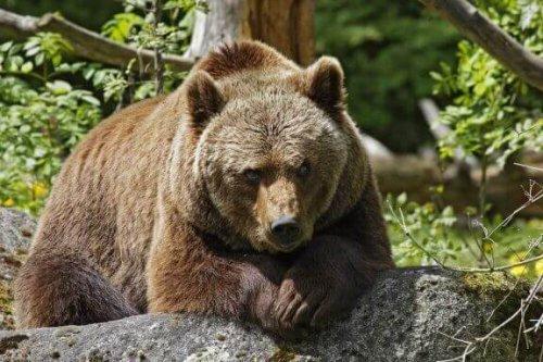 kahverengi ayı taşın üstünde oturuyor