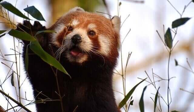 dal yiyen panda