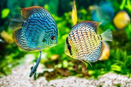 Balıklarda Kadife Hastalığı: Nedenleri Ve Belirtileri