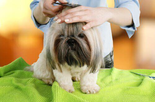 Saçları taranan köpek ve yeşil örtü