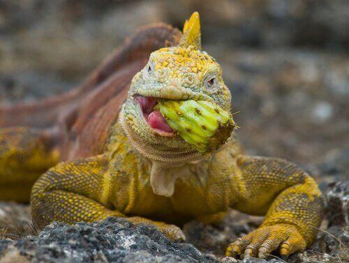 İguanalarda Kalsiyum ve Vitamin Eksikliği