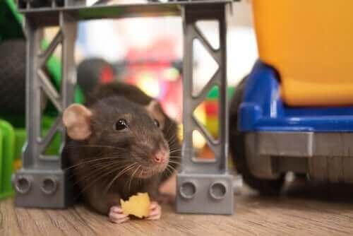 sıçan oyunları