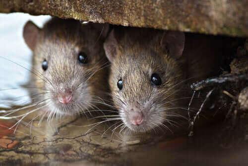 Sıçan Zekası: Düşündüğünüzden Daha Akıllılar!