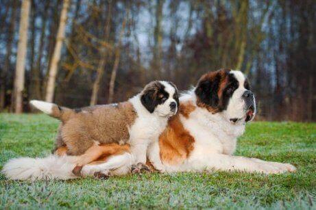 anne ve yavru st. bernard