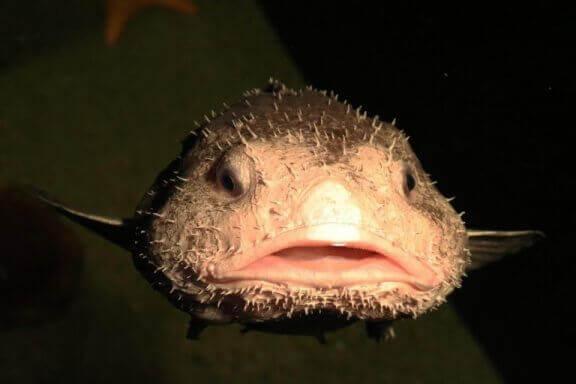 dikenli damla balığı