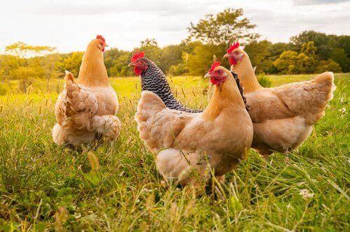 Tavuk Cinsleri ve Boyutları Hakkında İlginç Bilgiler